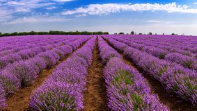 Beautiful lavender fields on a sunny day. lavender blooming scented flowers. Field against the sky. Moldova.  stock photo