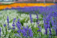 Beautiful lavender filed royalty free stock photography