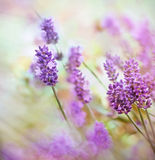 Beautiful lavender flower Stock Photo