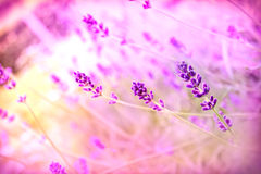 Beautiful lavender Stock Photography