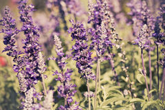Beautiful Lavender Flower Field. Growing and Blooming. Stock Image