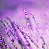 Beautiful lavender flower Stock Photography