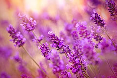 Beautiful lavender Stock Photo
