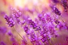 Beautiful lavender Stock Photo