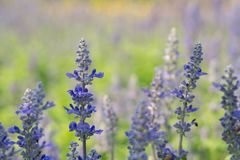 Lavender flower in graden. Beautiful lavender flower in graden royalty free stock photo
