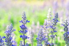 Lavender flower in graden. Beautiful lavender flower in graden stock photo