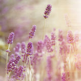 Beautiful lavender flower Royalty Free Stock Photos