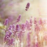 Beautiful lavender flower Royalty Free Stock Photos