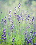 Beautiful Lavender Flower. Soft Focus. Stock Photography