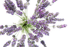 Beautiful lavender flowers Stock Photos