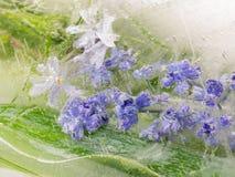 Beautiful lavender flowers Stock Photo