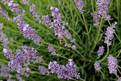 Blooming lavender flowers in june with bee. Beautiful lavender flowers in the afternoon sun and a hungry bee royalty free stock image