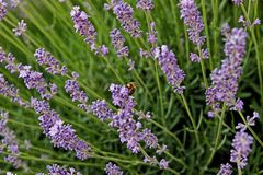 Blooming lavender flowers in june with bee. Beautiful lavender flowers in the afternoon sun and a hungry bee stock photography