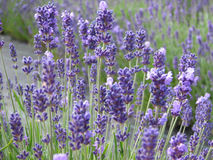 Beautiful lavender flowers in full bloom Royalty Free Stock Image