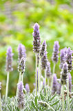 Beautiful Lavender flowers in the garden Stock Image