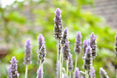 Beautiful Lavender flowers in the garden Stock Photo