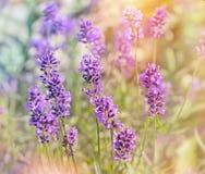 Beautiful lavender flowers Royalty Free Stock Photos