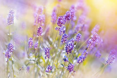 Beautiful lavender flowers in my garden Stock Images