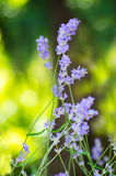 Beautiful Lavender Flowers shrub in garden. With blurred natural background Royalty Free Stock Images