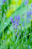 Beautiful Lavender Flowers shrub in garden Stock Photo