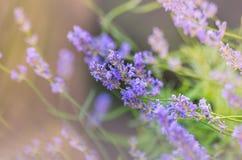 Beautiful Lavender Flowers shrub in garden Royalty Free Stock Photo