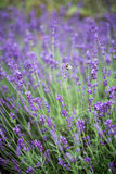 Beautiful Lavender Flowers shrub in garden close up view royalty free stock images