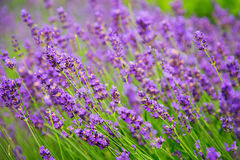 Beautiful lavender flowers. Summer lavender field in sun light Stock Photos