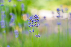 Beautiful Lavender flowers Stock Images