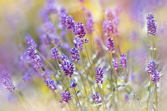 Beautiful lavender flowers from  Vojvodina (Serbia) Royalty Free Stock Image