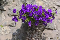 Beautiful lavender flowers in a wicker pot. Picture shows beautiful bright velvet or even lavender flowers in a decorated street wicker pot. Tender summer stock photography