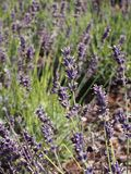 Lavender in a garden. Beautiful lavender in a garden Royalty Free Stock Photo