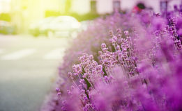 Beautiful lavender garden with fresh and colorful lavende Royalty Free Stock Photography