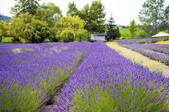 Beautiful Lavender garden In Sequim 3 Royalty Free Stock Image