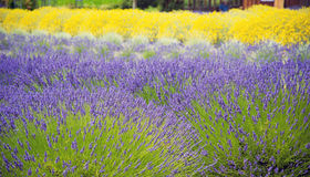 Beautiful Lavender garden In Sequim 5 Royalty Free Stock Image