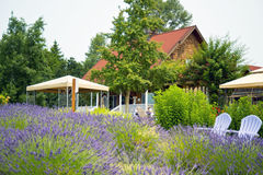 Beautiful Lavender garden In Sequim 8 Royalty Free Stock Images