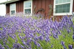 Beautiful Lavender garden In Sequim 24. Port angeles Washington State USA Stock Photos