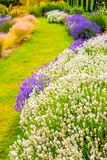 Beautiful lavender growing in the garden along the grass path. In the summer Royalty Free Stock Image