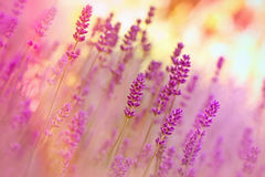 Beautiful lavender illuminated by sunlight Royalty Free Stock Image