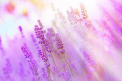 Beautiful lavender illuminated by sunlight Royalty Free Stock Photography