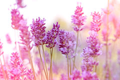 Beautiful lavender Royalty Free Stock Photography