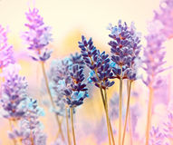 Beautiful lavender Stock Image