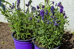 Beautiful lavender in purple pots outdoors. stock image