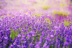 Beautiful lavender in sunlight. Beautiful blooming violet lavender in sunlight Royalty Free Stock Photo