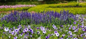 Beautiful lavender type salvia nemorosa. In the garden royalty free stock photo