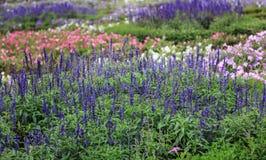 Beautiful lavender type salvia nemorosa. In the garden stock image