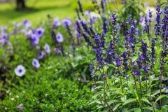 Beautiful lavender type salvia nemorosa. In the garden royalty free stock photography