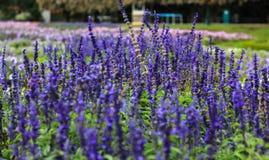 Beautiful lavender type salvia nemorosa royalty free stock photos
