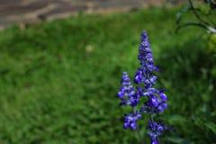 Beautiful lavender type salvia nemorosa. In the garden royalty free stock photos
