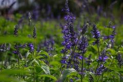 Beautiful lavender type salvia nemorosa. In the garden stock photo