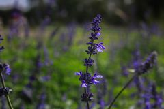 Beautiful lavender type salvia nemorosa. In the garden stock photography
